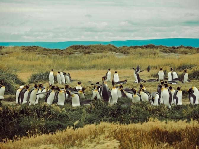 Pinguinkolonie.